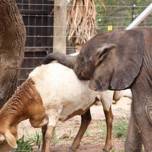 hesc - camp jabulani mopane baby orphaned elephant